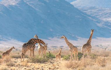 Eine Gruppe von Giraffen, die in der Wüste Zentralnamibias grasen.