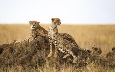 Cheetahs resting on the rock in Serengeti National Park, Tanzania, Africa