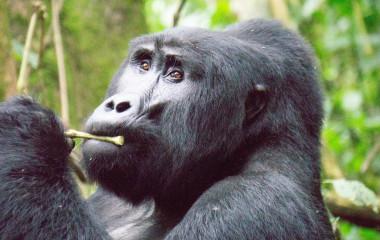 Berggorilla im Bwindi Regenwald, Uganda