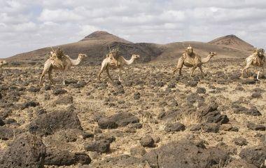 Kamele in der Chalbi Wüste, Kenia