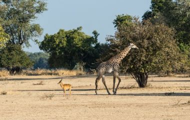 Giraffe in South Luangwa, Sambia