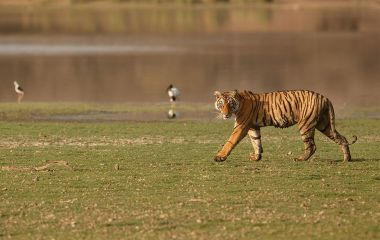 Tiger im Pench Nationalpark
