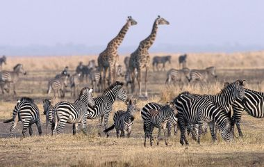 Giraffes and zebras in the Serengeti