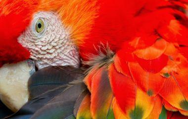 Scarlet Macaw, Amazon Peru Bolivia And Brazil, South America