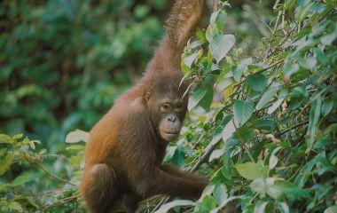 Affe klettert auf Bäumen in Malaysia