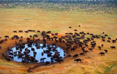 Buffalo-at-the-source-masai-mara-Kenya
