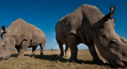 conserving-the-big-fives-black-rhino-in-kenya