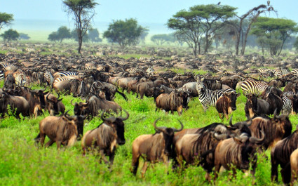 Migration im Serengeti National Park, Tansania