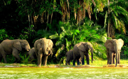 Elephants at Lake Victoria in Tanzania