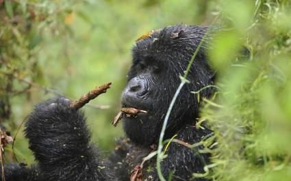 Enchanting Travels African safari parks to see - Mountain gorilla female - things to do in rwanda