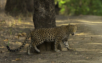 Indian Leopard in Kanha Tiger Reserve, Madhya Pradesh