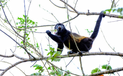 Howler Monkey on the treetop at Arenal
