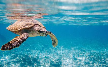 Meeresschildkröte in Seychellen