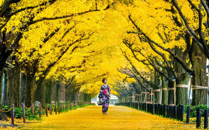 Gingko tree-lined street in autumn near the Meiji shrine of Tokyo