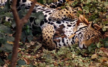 Enchanting Travel Mexico Tours Pantera Onca, Jaguar In Chiapas Mexico