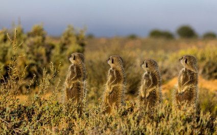 Meerkats sunbathing in the Little Karoo, best road trips