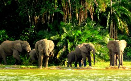 Elephants at Lake Victoria in Tanzania