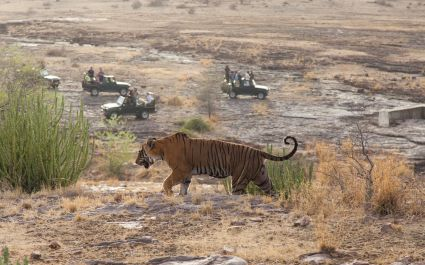 Safari Group watching Wild Tiger, Ranthambore National Park, India