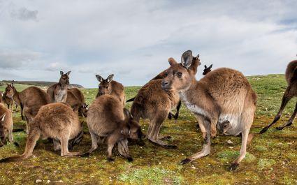 Enchanting Travels - Australia Tours -Kangaroos while looking at you at sunset in kangaroo island
