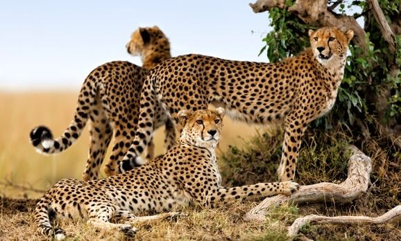 Cheetah-mother-and-two-older-cubs-Masai-Mara-Kenya