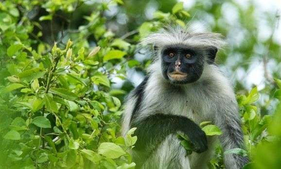 red-colobus-monkey-zanzibar