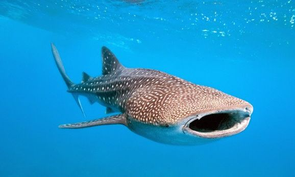 whale-shark-and-underwater-photographer-shutterstock_70078366