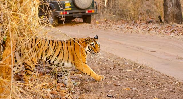 Ein Tiger überquert die Straße im Bandhavgarh Tigerreservat während einer Safari