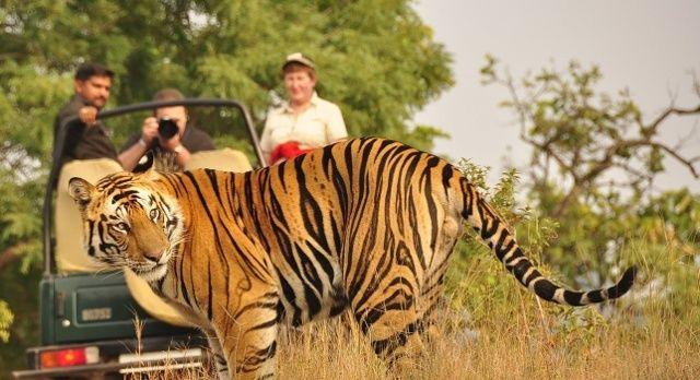 The Real Jungle Book: Your India Safari - Pench tiger