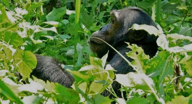 Chimps at Rubondo