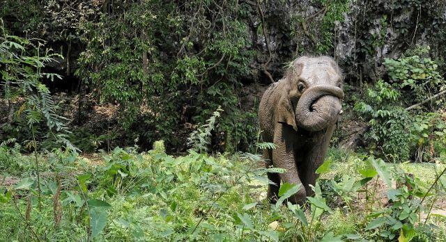 Enchanting Travel Vietanam Tours Buon Ma Thuot Asian elephant trunk roll.
