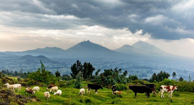 Enchanting Travels African safari parks to see - Herd of cows,Volcanoes National park, majestic landscape, mountains, dramatic clouds. Rwanda