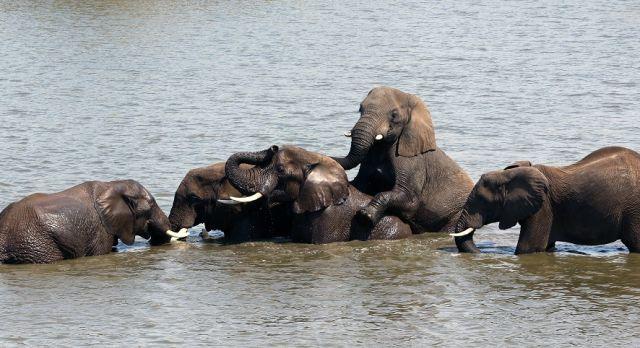 Mehrere Elefanten tummeln sich im Wasser
