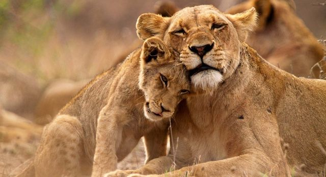 Catch sight of lion cubs on an African safari