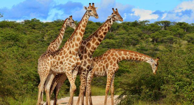 Africa's gentle giants.