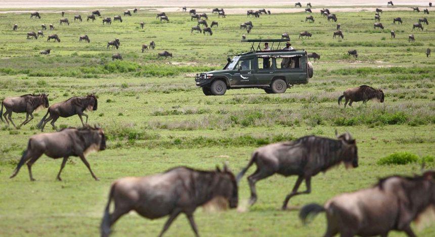 Geländewagen inmitten von Gnu-Herden