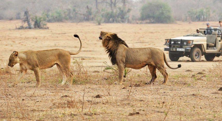 Löwen in der Steppe