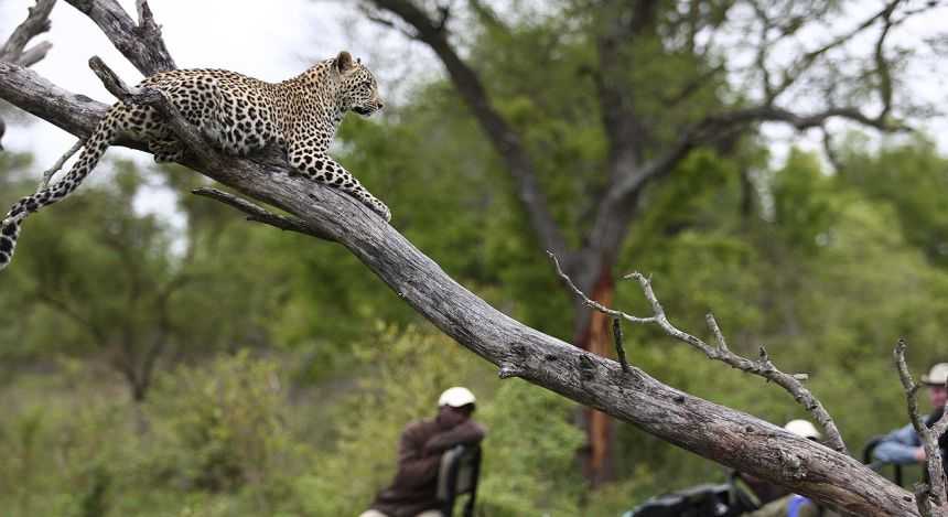 Leopard liegt auf Baumstamm