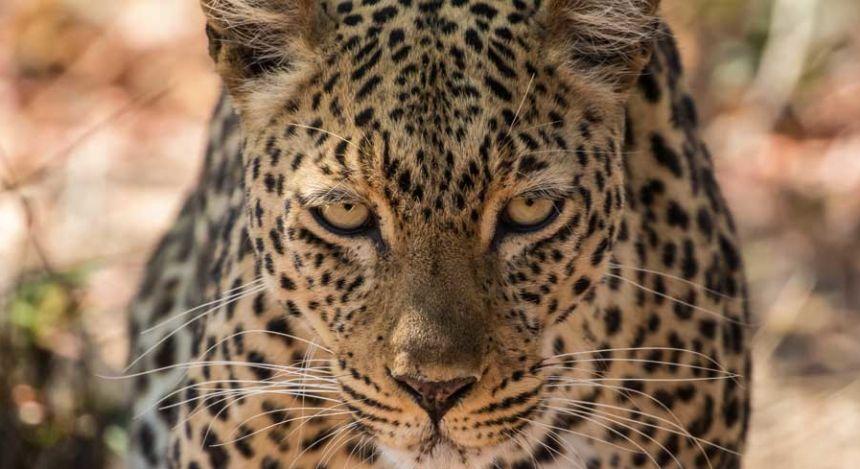Leopard im Luangwa-Nationalpark in Südafrika
