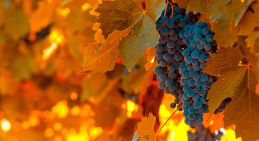 Reife Malbec-Weintrauben in der argentinischen Weinregion Mendoza