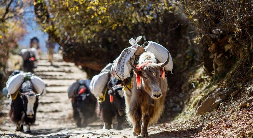Eine Gruppe von Yaks in Nepal