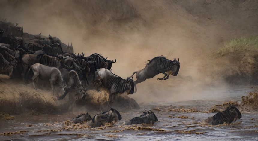 Wilde Gnu-Herde springt in einen Fluss