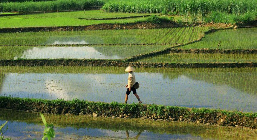 Reisbauer schreitet durch überschwemmte Reisfelder
