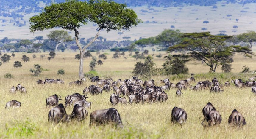 Enchanting Travels African safari parks to see - Wildebeest and Zebra herds during migration in Serengeti national park Tanzania Africa - wildebeest migration