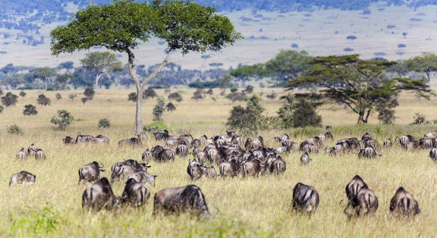 Gnu-Herde in der Serengeti