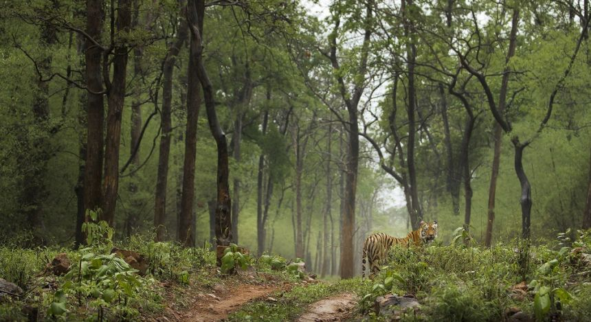 Royal Bengal tiger in green Monsoon forest Tadoba India