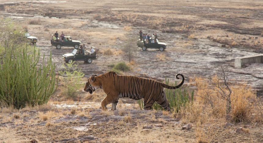 Tiger streift durch Landschaft