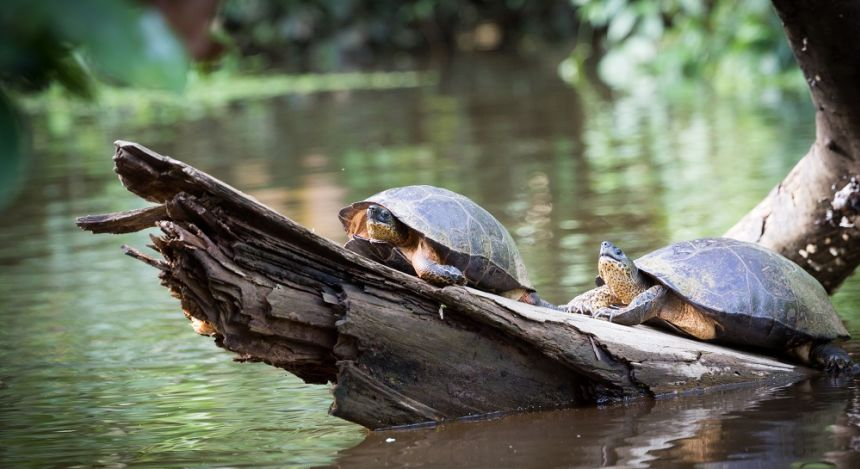 Turtles sunbathing in Tortuguero