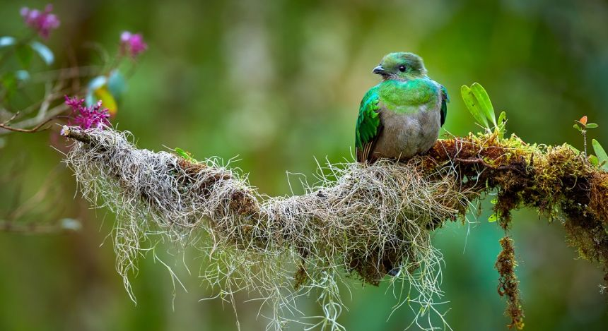 The Quetzal bird in Monteverde