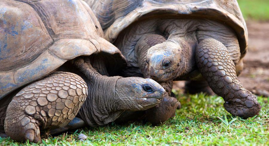 Die Riesenschildkröten sind so etwas wie das Maskottchen von Mauritius