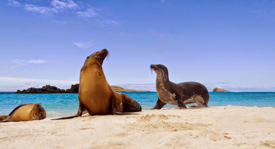 Seelöwen spielen am Strand von Galapagos